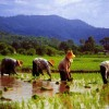 Rice Paddies In Thailand